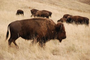 1.-herd-of-bison-copy